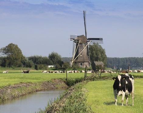 molen met koe